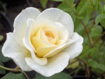 Hélène Carrère d'Encausse, la rose crée par la pépinière MelaRosa pour l'écrivaine dont elle porte le nom (créateur : Jean-Lin Lebrun)