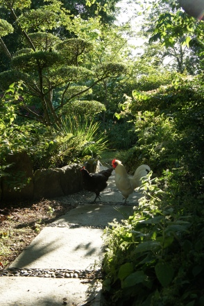 poules en promenade